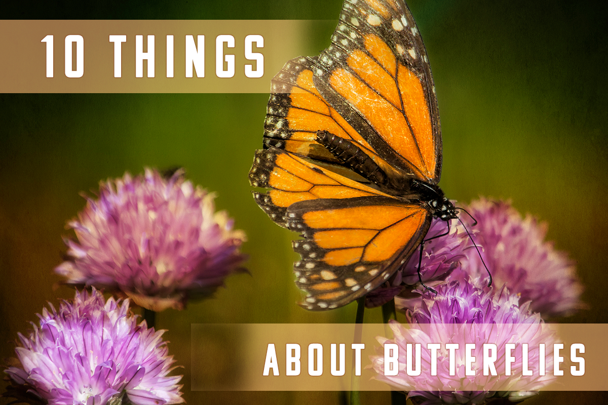 10 Things You Didn't Know About Butterflies